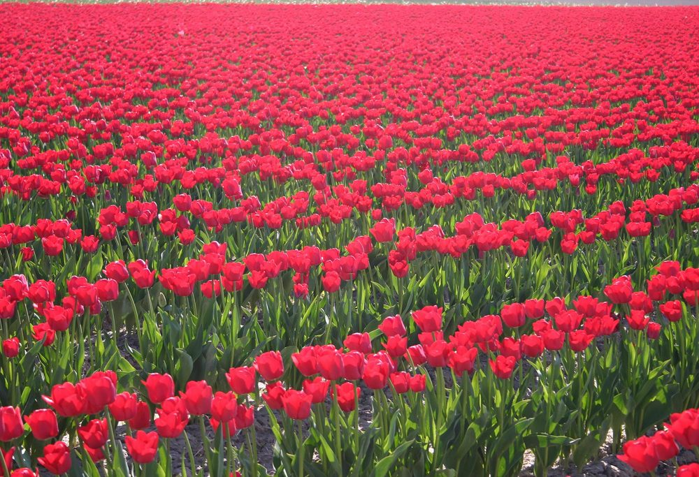 Best Day Trips from Amsterdam: Tulips in Lisse